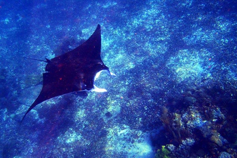 Snorkeling bareng Manta raksasa di Manta Point Flores